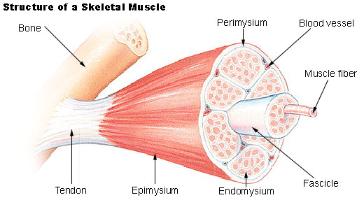 structure sceletal muscle